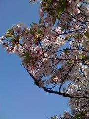 Sakura0409